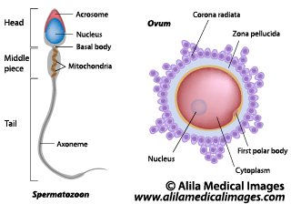 diagram of an atom which has a number of helium atomic 2 womans diagram of an egg female reproductive system gallery - medical information ... #4