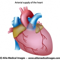 Blood supply to the heart unlabeled diagram