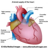 Blood supply to the heart labeled diagram