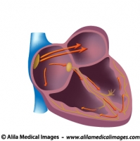 Electrical pathways of the heart, unlabeled