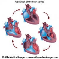 Heart valves operation, unlabeled diagram.