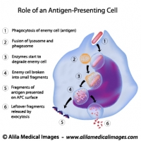 Antigen presenting cell functions, labeled diagram.