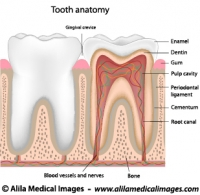 Tooth anatomy, labeled diagram.