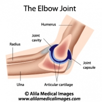 The elbow joint anatomy, labeled diagram.