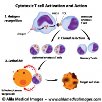 Cytotoxic T cells functions, labeled diagram.