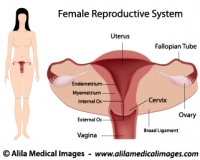 Female Reproductive System Gallery - Medical Information Illustrated