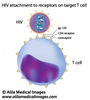 HIV attachment to target T cell, labeled diagram.