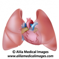 Heart and lungs diagram unlabeled