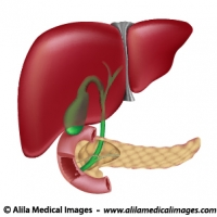 Endocrine archives medical information illustrated digestive organs medical drawing ccuart Image collections