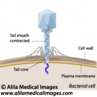 Phage infecting a bacterium, labeled diagram.