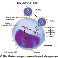 HIV entry to T cell, labeled drawing.
