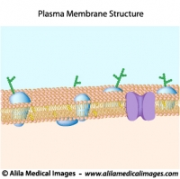 Structure of plasma membrane, unlabeled diagram.