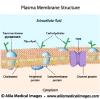 Structure of plasma membrane, labeled diagram.