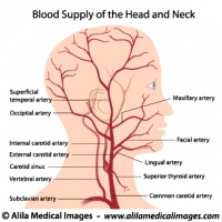 Blood supply to the head and neck, labeled drawing.