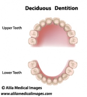 Deciduous dentition, medical drawing.