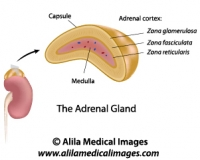 Endocrine System Archives Medical Information Illustrated