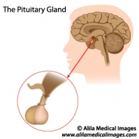 Pituitary gland, medical drawing.