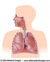 Respiratory system, unlabeled diagram