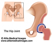 Hip joint structure, medical illustration.