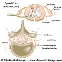 spinal cord archives medical information illustrated : spinal cord diagram labeled - findchart.co