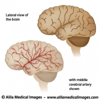 Blood supply to the brain diagram