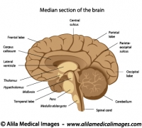 brain and nervous system archives medical information illustratedhuman brain anatomy, labeled diagram