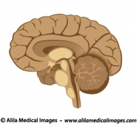 Brain and nervous system Archives - Medical Information ...