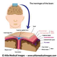 Brain and nervous system gallery medical information illustrated meninges of the brain labeled diagram ccuart Choice Image