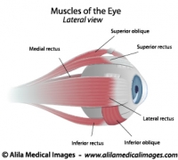 Muscles of the eye, labeled diagram.