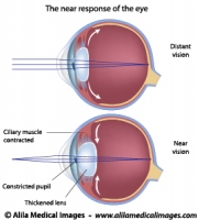 Eye adaptation to near vision, illustration.