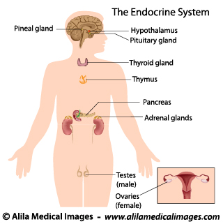 Endocrine System Gallery Medical Information Illustrated
